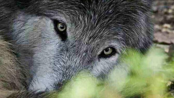 Alaska's Alexander Archipelago Wolves