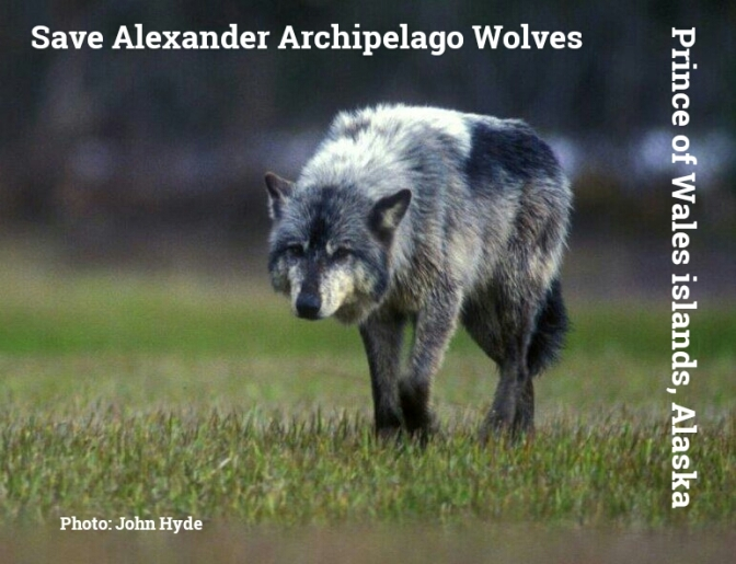 Alaska's Obligation To Save The Alexander Archipelago Wolves on Prince of Wales