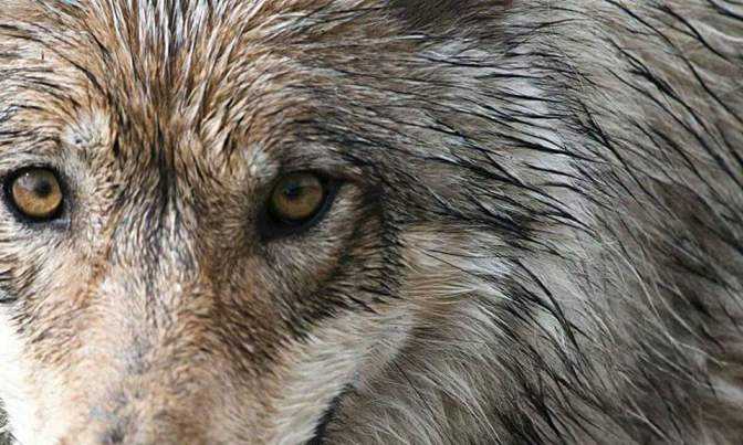 Emergency Tweetstorm: Save Denali Wolves
