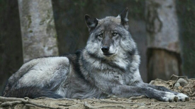 Update and Continued Efforts on Behalf of the Archipelago Wolves on Prince of Wales
