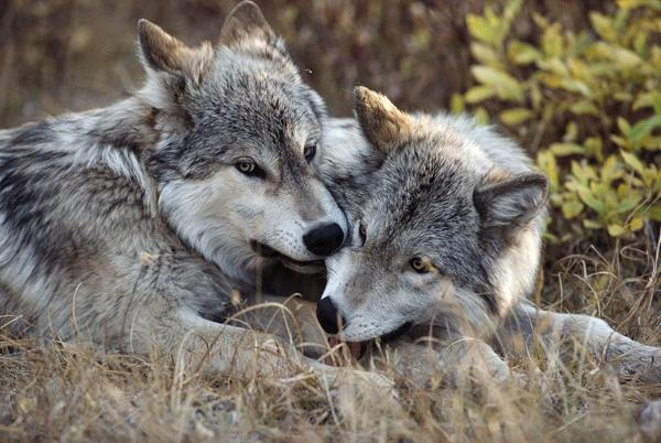 26 scientists are urging the western Great Lakes population of gray wolves be removed from protections of the Endangered Species Act