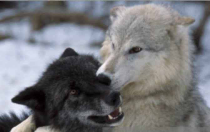 For The Love Of Wolves