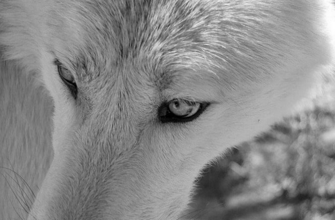 Respect Science: Keep Wolves Protected