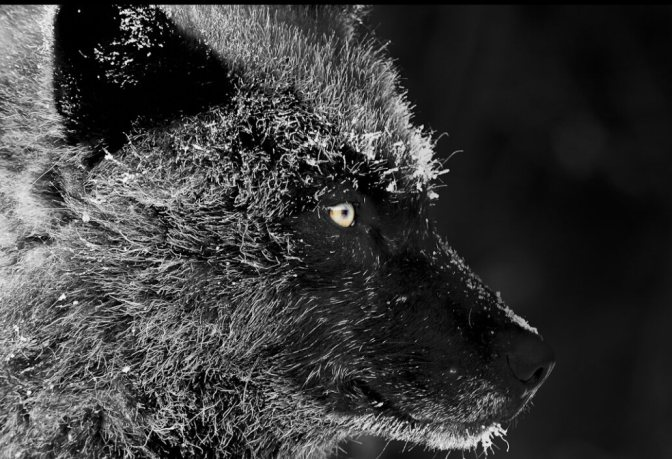 Alexander Archipelago Wolf Hunting and Trapping Season Emergency Closure