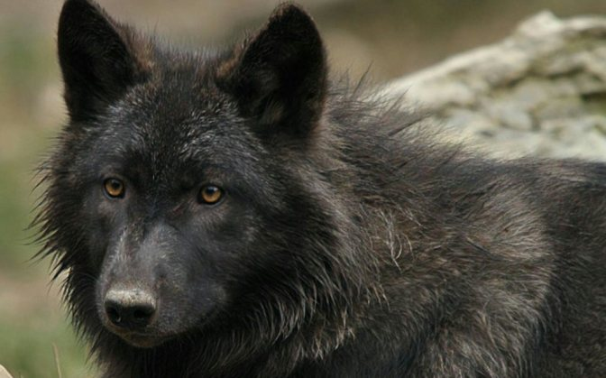 Stand For Archipelago Wolves on POW