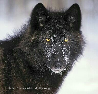 No ESA Protection For Alexander Archipelago Wolves