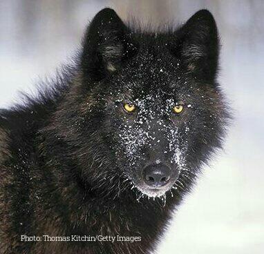No ESA Protection For Alexander Archipelago Wolves