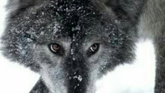 Hey, Congress~Leave Those Wolves Alone