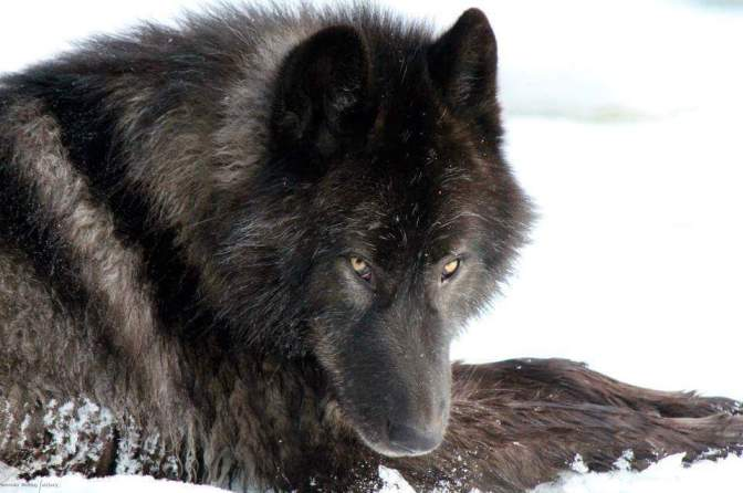 Just 89 of these Alaskan wolves remain…now hold on a minute