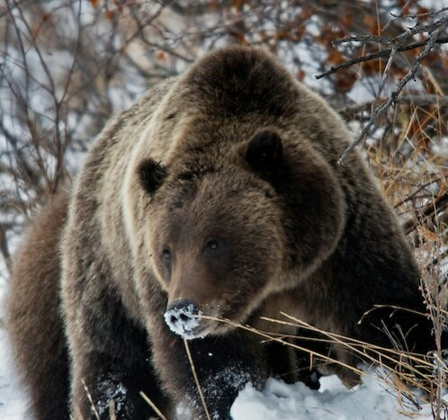 111114-grizzly-399-088_1.jpg