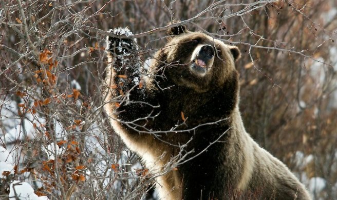 111114-grizzly-399-135_1.jpg