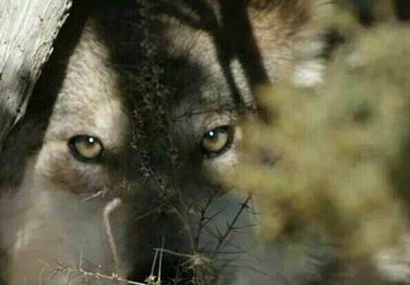 intheshadowofthewolf