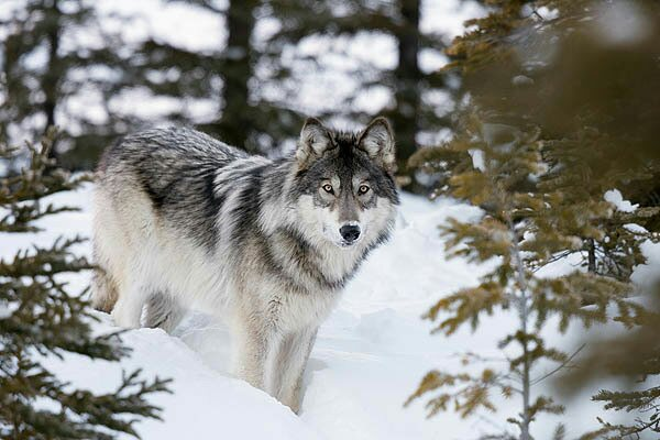 The Wolves of Isle Royale: Genetic Rescue or Sacrificial Lamb