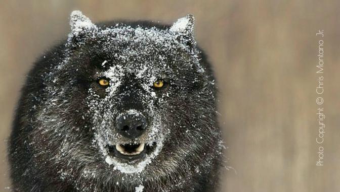 Kenai Peninsula Wolves