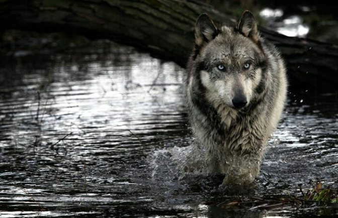 Ancient Forests, Wolves, Wildlife and The Wrangell Timber Sale