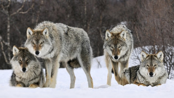 Save Norway's Wolves: Tweetstorm