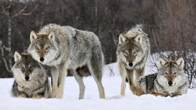 Save Norway's Wolves: Tweetstorm