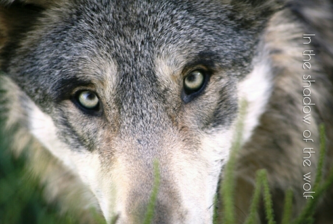 Save Norway's Wolves Final Tweetstorm