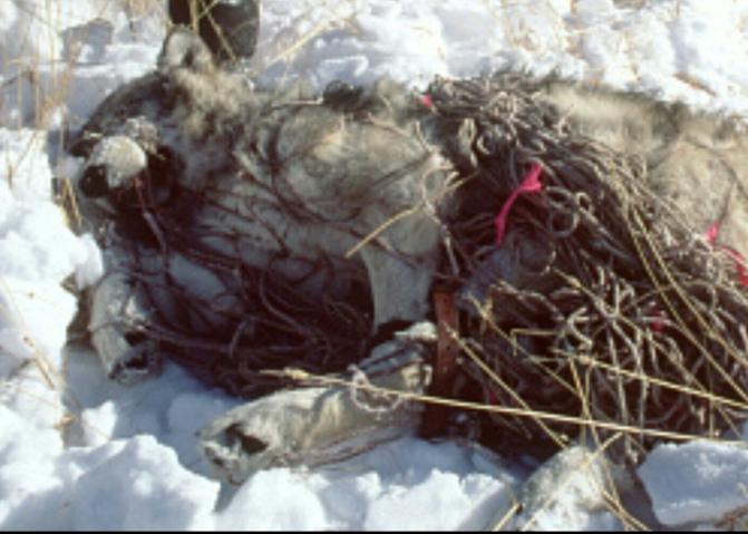 Environmental Impact Statement – Isle Royale Wolves