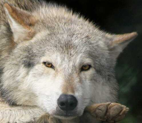 More Trouble for Wolves in Oregon