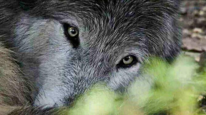 Alaska House Passes Legislation to Protect Wolves Adjacent to the Denali National Park