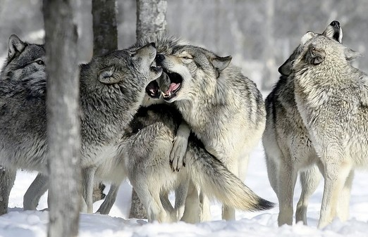 Alaska's Intensive Predator Management: The Shocking Reality