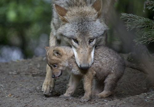 Press Release: Wolf Livestock Depredation in WA and Profanity Peak Pack