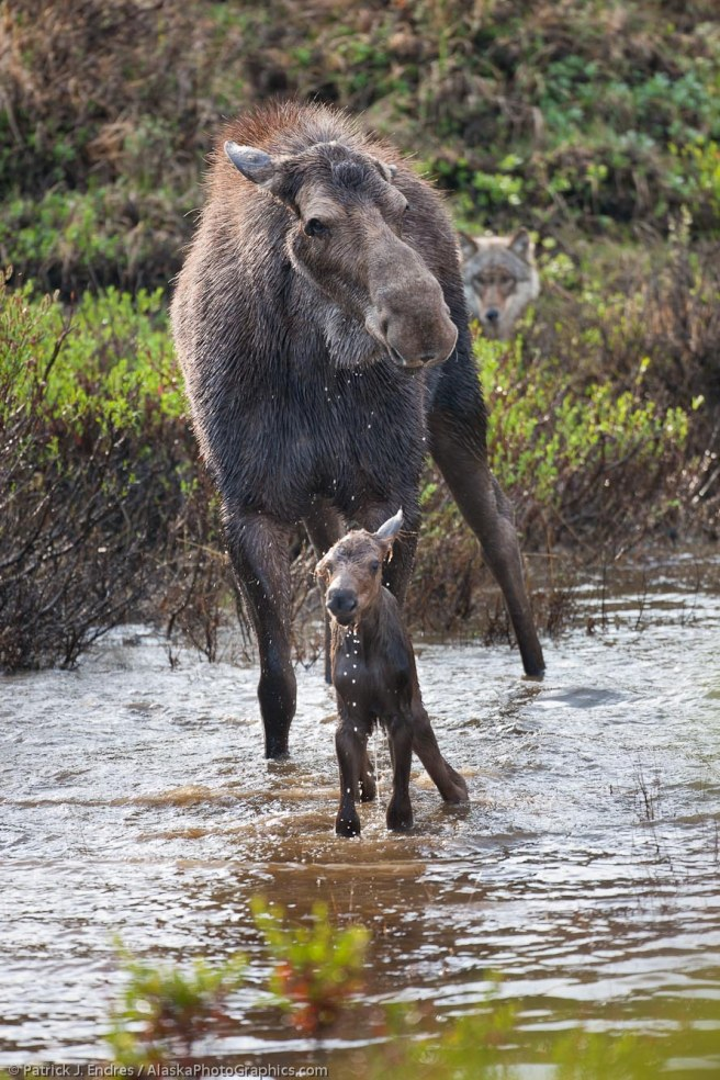 Wolf eyes a newly born moose calf, one of a pack of 6 that executed a deadly attack soon following. Tap image for article.
